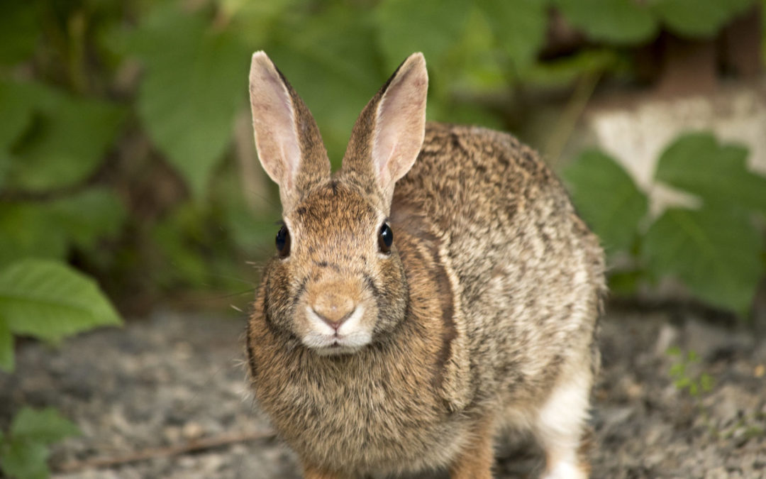 St. John's Rabbit