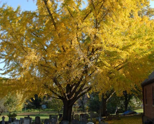 TP shows a magnificent specimen of a ginkgo tree on the Chapel Campus that was planted in the 1850's