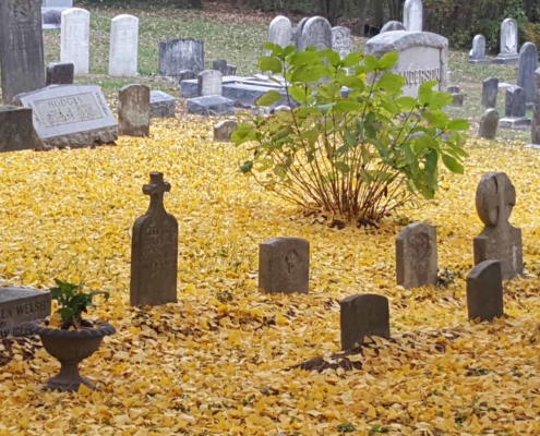 TP shows a yellow carpet of ginkgo leaves in the Chapel cemetery