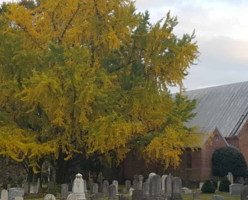 TP shows a Gingko tree planted in the Chapel Cemetery in the 1850s