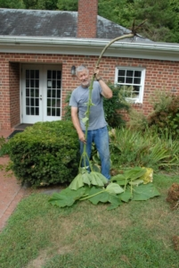 TP shows volunteer removing 5-foot weed removed during Parish cleanup activities